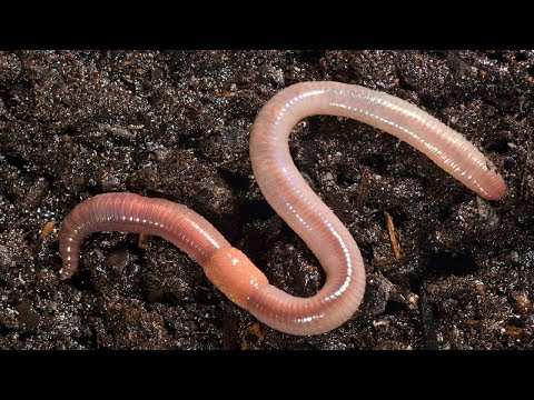 Great intro: This is What  Happens When You Put Earthworm in Your garden soil