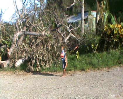 Large Rain Tree blocking the road between Nuku and Tabwewa