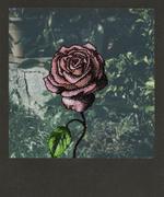 Rosae puntinata