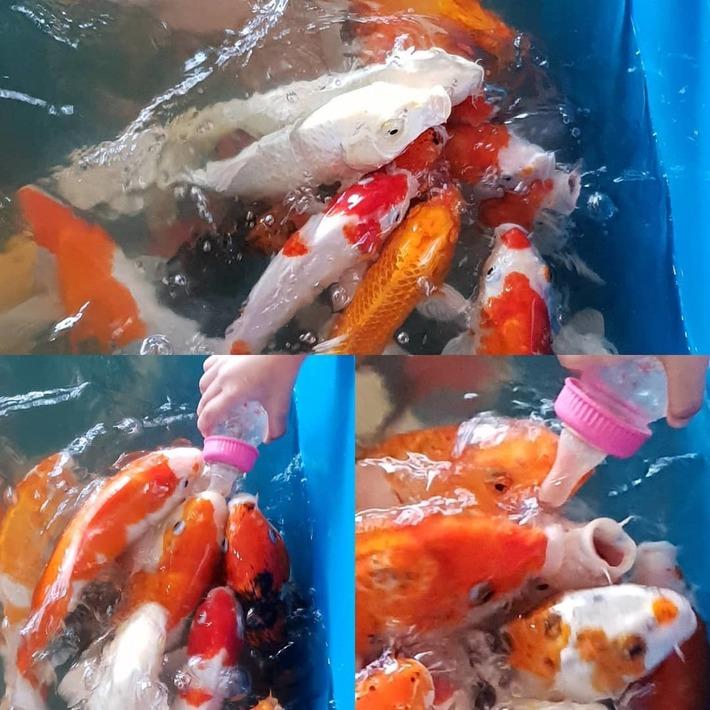 Gay Koi Fish