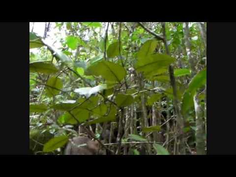 Kauai, Hawaii, Young Boar Hunt 5/8/10