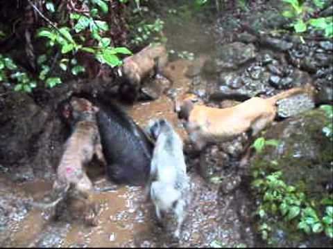 laupahoehoe boar---reuploaded