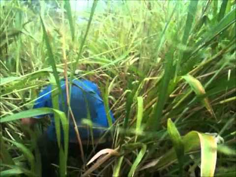 fat sow tall grass