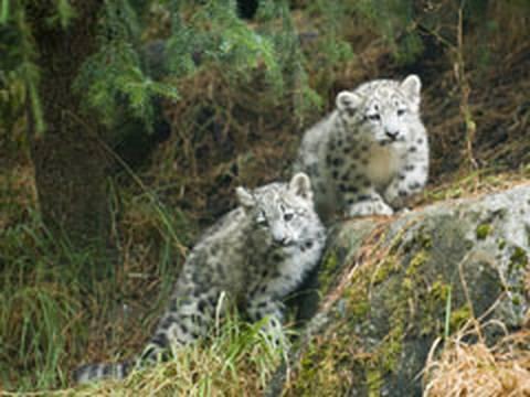 Snow Leopard KITTENS!