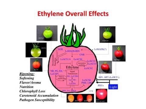 Ripening of Fruits Physiology and Chemistry - By Prabodh Halde