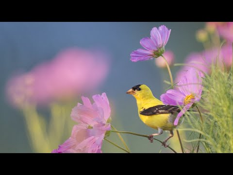 """Beautiful Instrumental Music, Peaceful Relaxing  Music """" Morning Song Birds 8 Hours"""" by Tim Janis"""