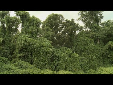 Kudzu Spreads North