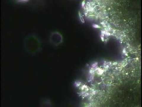 Microscopic movie of Sheldon nanomesh catching bacteria