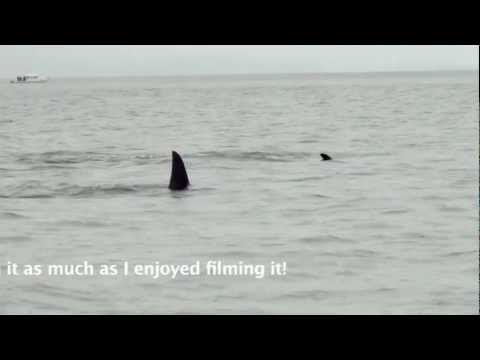 Orca Pods Copulating During Whale Watching Trip