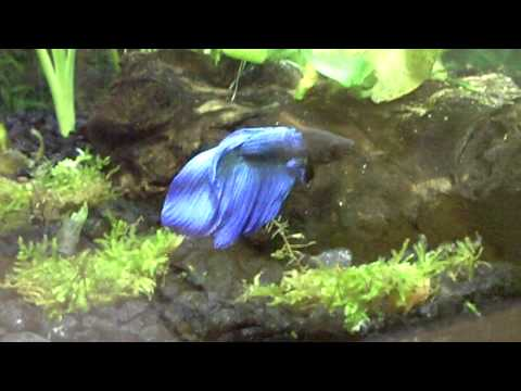 Betta Fish in 10 Gallon Heavily Planted Tank