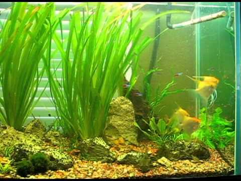 120g golden angelfish update