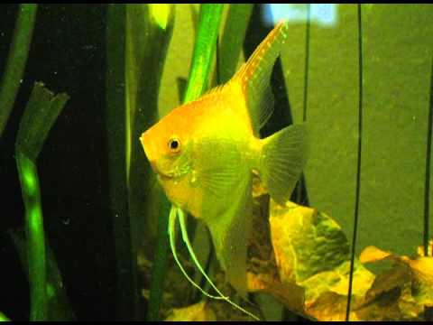 angelfish update