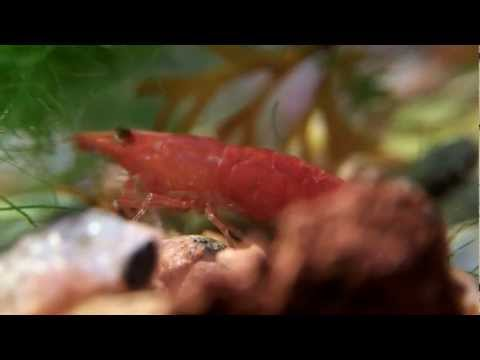 red cherry shrimp close-up