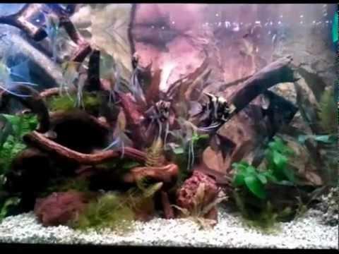 My Angels Aquarium - Amorhode