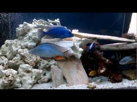 African Cichlid Aquarium 3