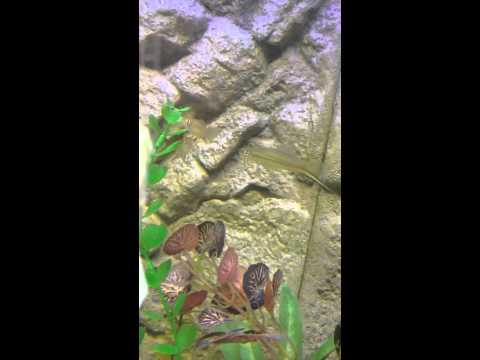 Tropical green swordtails