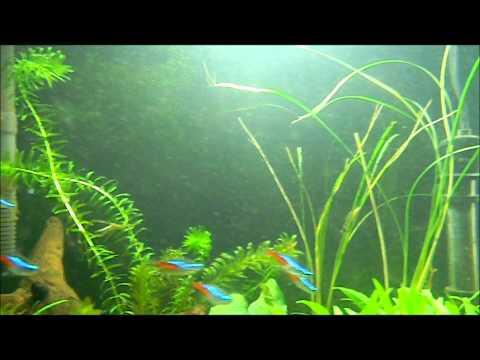 Fish eating mosquito larvae.wmv