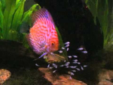 9 day old discus fry