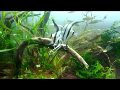 My Angel Fish Fighting :(
