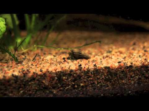 Malaysian Trumpet Snail crawling (4X speed) (Melanoides tuberculata)
