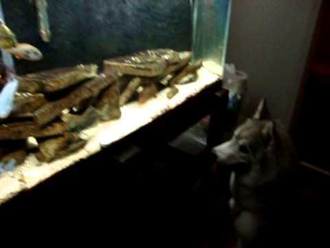 Dog Likes to Watch Fish Tank