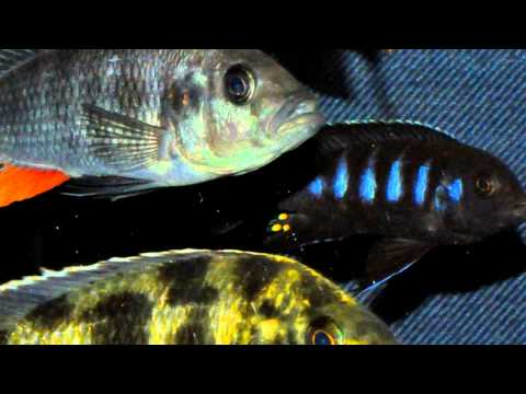 55 Gallon African Cichlid Community Overview - HD