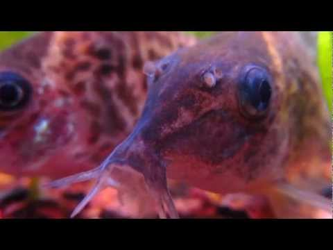 Up Close And Personal With Corydoras agassizii