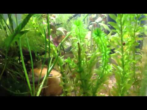 Wednesday Plant special: Anacharis