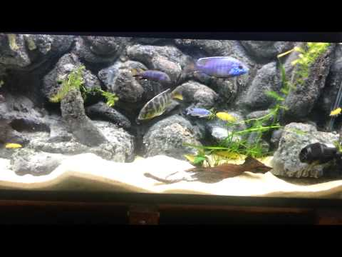 New Stocking Plans for 55G African Cichlid Tank