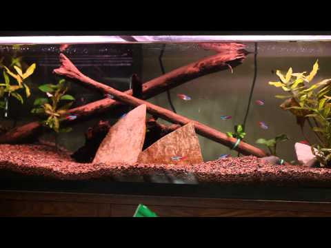 """The pleco lair. This 23 gallon long has a pretty large pleco hiding in the rock and mopani """"cave""""."""