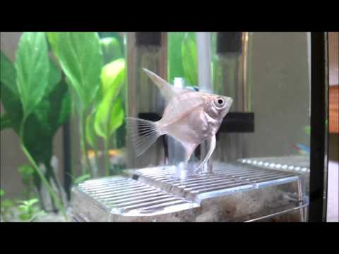Introducing Angelfish into the Aquarium