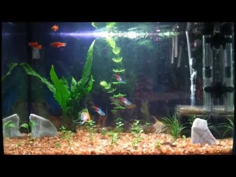10 Gallon Planted Fish Tank - Neon Tetra's, Angelfish, Red Platy's, Kuhli Loach