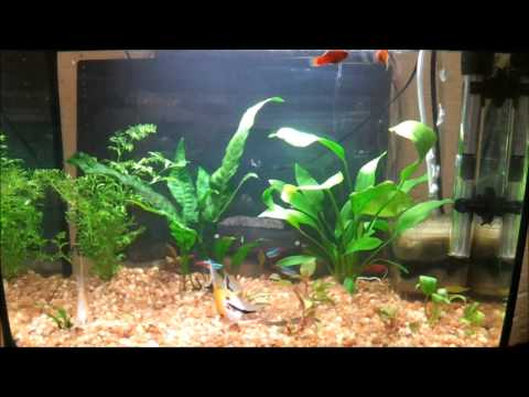 10 Gallon Planted Community Aquarium - Neon Tetra's, Angelfish, Platy's