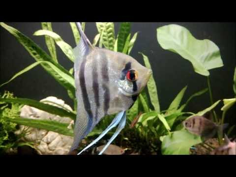 Blue Zebra Angelfish
