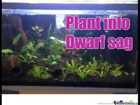 Plant facts: Dwarf Sag