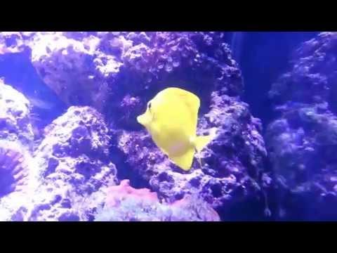 The Beautiful Majestic Yellow Tang