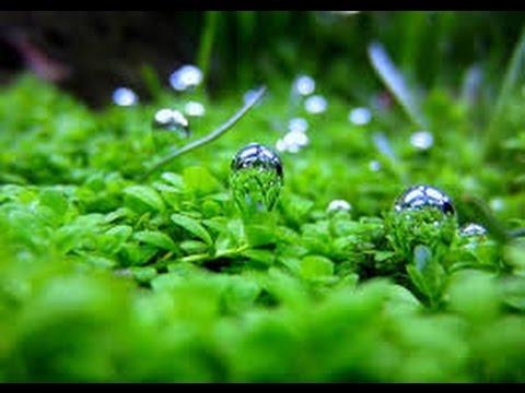 Plant Profile: HC Dwarf Baby Tears+Selling Plants!