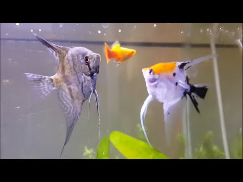 AWESOME! My 15 Gallon Angelfish Community Tank
