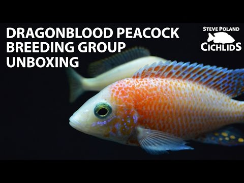 Dragonblood Peacock Breeding Group Unboxing
