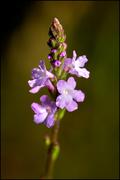 Spiga fiorita