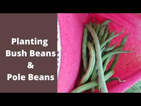 Planting Pole beans and Bush beans