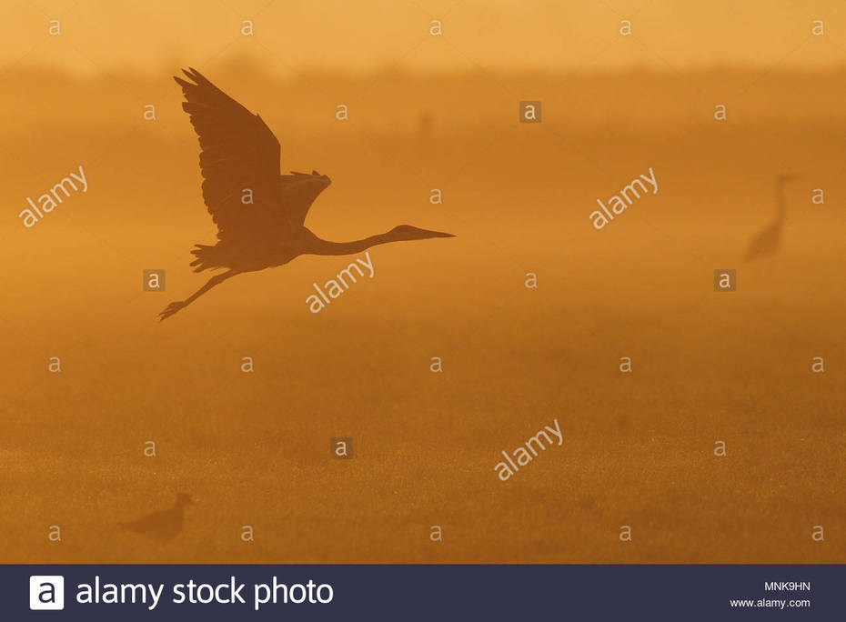 vuelo-de-garzas-grises-en-el-crepusculo-verano-ardea-cinerea-mnk9hn