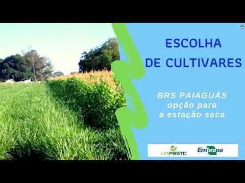 BRS Paiaguás, opção para o período seco