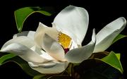 fiore di magnolia....del mio giardino!!