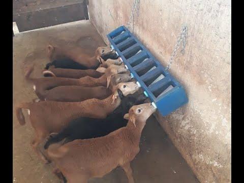 Suporte de mamadeiras otimiza aleitamento artificial de cordeiros