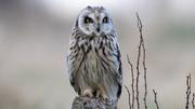 Short eared owl (119)