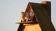 Barn Owl (328)
