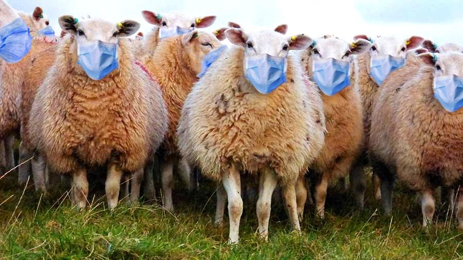 sheep-corona-giorgio
