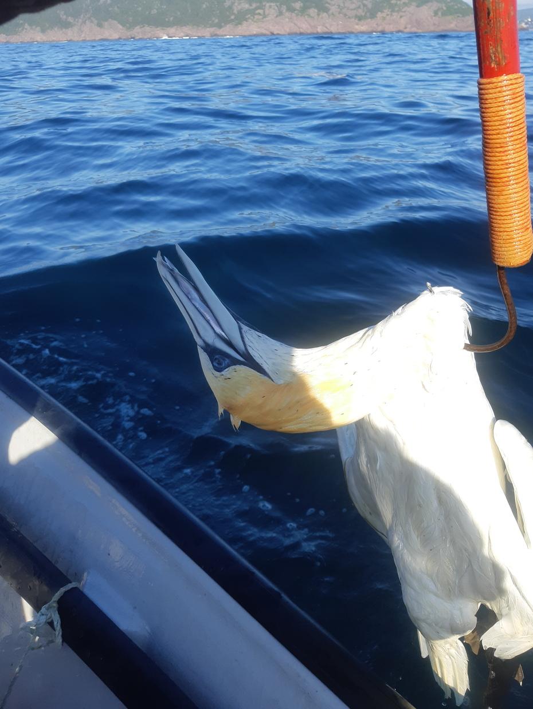 Gannet was dead in the water with a caplin in its bill.