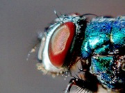 A Blue Fly